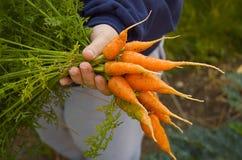 Karotten im Bündel Stockfotos