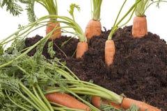Karotten im Boden stockfotografie