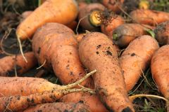 Karotten im Garten Lizenzfreie Stockbilder