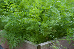 Karotten im Gemüsegarten Lizenzfreie Stockfotos