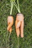 Karotten. Mädchen und Junge Lizenzfreies Stockbild