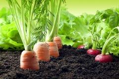 Karotten und Rettich, die im Garten wachsen Lizenzfreie Stockfotos
