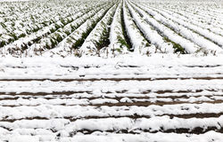 Karottenernte im Schnee Stockbilder