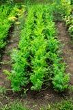 Karottenflecken Stockbilder