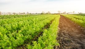Karottenplantagen wachsen auf dem Gebiet Gem?sereihen Wachsendes Gem?se Bauernhof Landschaft mit Ackerland Ernten frisch lizenzfreies stockbild