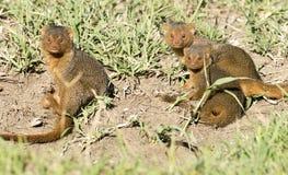 Karłowaty mangusty bawić się Obrazy Royalty Free
