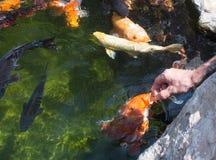 Karp fish feeding Royalty Free Stock Image
