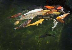 Karp fish in pond Royalty Free Stock Images
