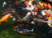 Karp fish in pond Royalty Free Stock Photo