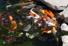 Karp fish in pond Royalty Free Stock Photography