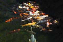 Karp fish in pond Stock Photo