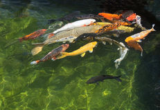Karp fish in pond Stock Images