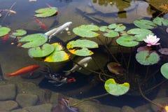 Karp i dammet, färgrik fisk, asia bad royaltyfri foto