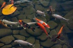 Karp i dammet, färgrik fisk, asia arkivbild