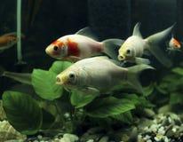 Karp koi in aquarium Stock Photography