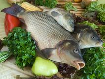 karp ryb Obrazy Stock