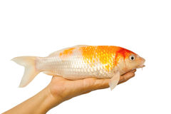 Karp ryba, koi ryba na ręce Obrazy Stock