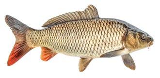 Karp ryba odizolowywająca Boczny widok, odosobniony zdjęcie royalty free