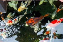 Karp ryba pływanie w basenie Obrazy Royalty Free