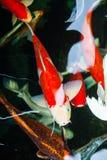 Karp ryba pływanie w basenie Obraz Royalty Free