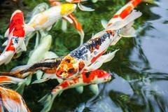 Karp ryba pływanie w basenie Obraz Stock