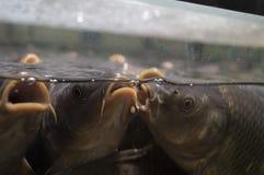 Karp ryba Rozmowa między dwa dziewczynami Zdjęcia Royalty Free