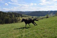 Karpacki koń Zdjęcia Royalty Free