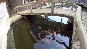 Karpar simmar i det dekorativa dammet stock video