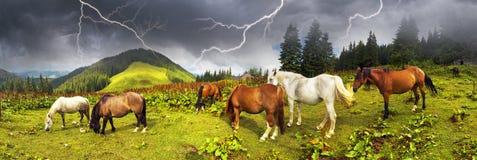 Karpatenmustangs in Gorgany Stockfoto