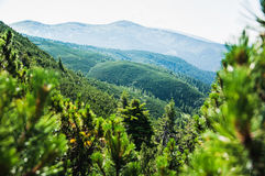 Fur trees in Carpathian highlands Royalty Free Stock Photos