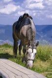 Karpatisch paard Stock Afbeelding