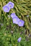 Karpatische bellflower Blauwe Klemmen stock afbeelding