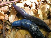 Karpatische blauwe naaktslak (Bielzia coerulans) Royalty-vrije Stock Foto's