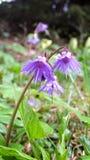 Karpatische bloemen Royalty-vrije Stock Fotografie
