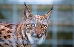 Karpatische de lynxcarpathicus van de Lynxlynx achter het kooien royalty-vrije stock foto