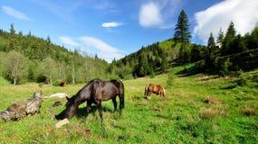 Karpatische paarden Stock Fotografie