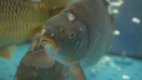 Karpen simmar i ett akvarium stock video