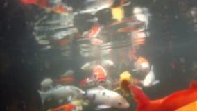 Karpen simmar i ett damm stock video