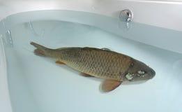 Karper in de badkuip Royalty-vrije Stock Foto's