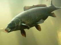 Karper in het aquarium Stock Afbeelding