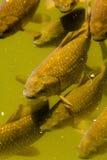 Karper in het water Royalty-vrije Stock Fotografie
