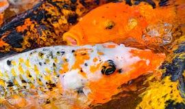Karper met zwarte en oranje uitbarstingen en sommige oranje karpers op backg Stock Fotografie