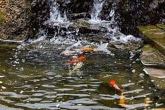 Karper in vijver, kleurrijke vissen, aquatisch dier stock fotografie
