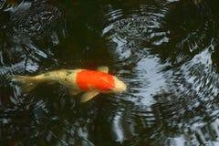 karpervissen, beste wens voor altijd royalty-vrije stock afbeelding