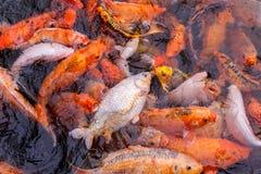 Karpfen, die im Teich schwimmen Stockbild