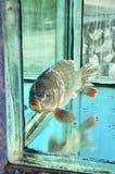 Karpfen im Aquarium Lizenzfreies Stockbild