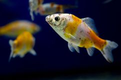 Karpfen im Aquarium lizenzfreies stockfoto
