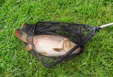 Karpfen im Fischernetz Lizenzfreie Stockfotografie