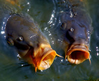 Karpfen im Wasser Lizenzfreie Stockfotos