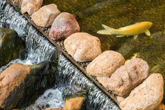 Karpfen- oder Koi-Fische in einem Naturstein stauen Stockfoto